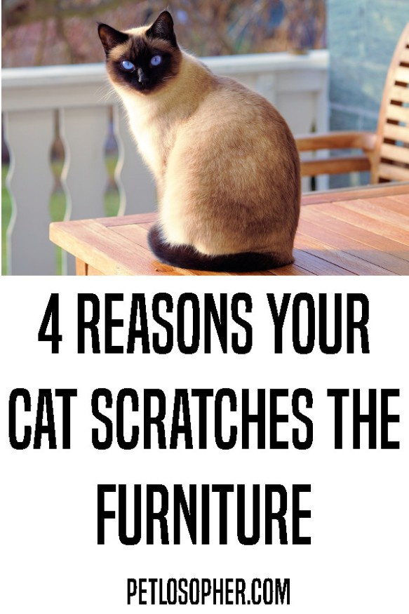4 reasons your cat scratches the furniture